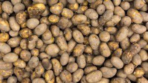 produzione di patate biologiche
