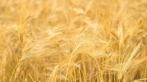 produzione di grano e cereali